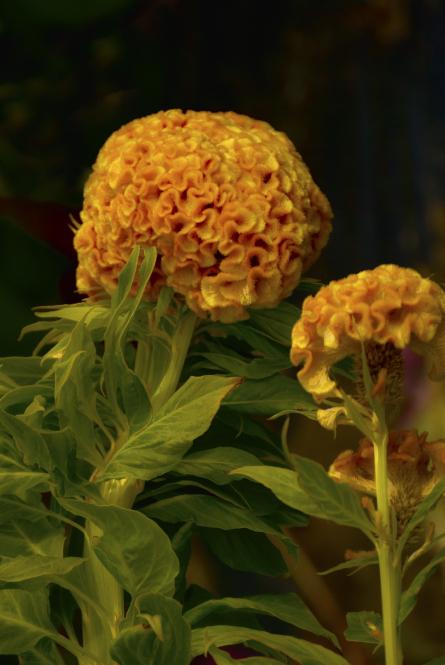 Gold Celosia