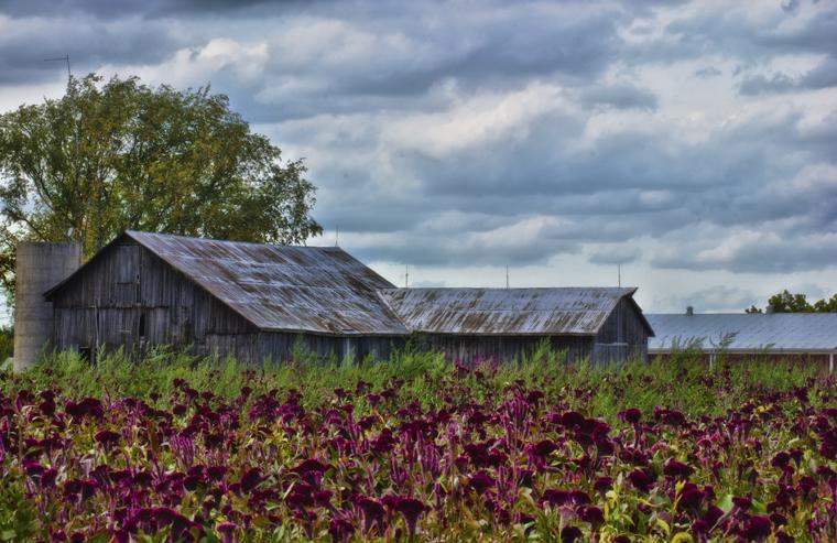 Burgundy Celosia