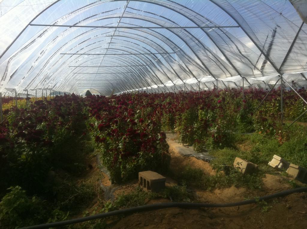 Burgundy Celosia in Grow Tunnels